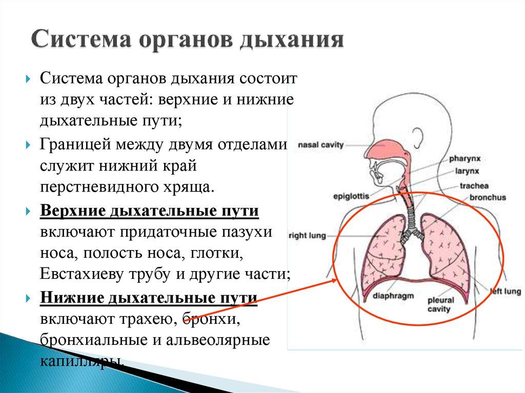 Оищение при заболеваниях органов дыхания